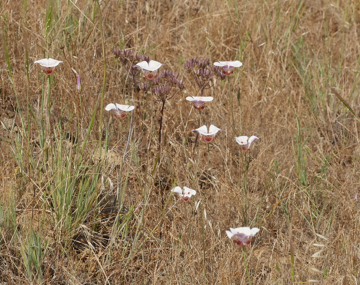 We saw White clay mariposa lilies (Calochortus argillosus) dotted in sunny grassland areas.  In several places, we could see a hundred or more in bloom from a single vantage point.  We were impressed by the number of mariposa lilies in bloom.  We were surprised that the bloom lasted so long this year.
