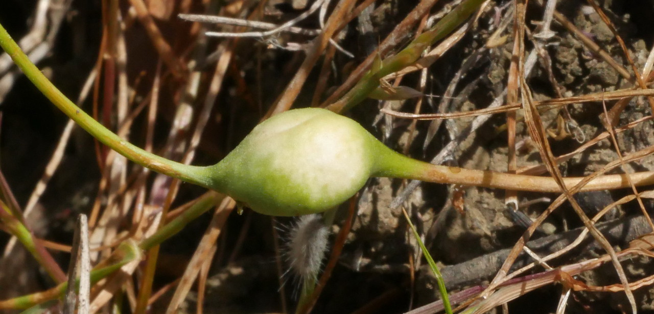 Looks like a gall on a grass or forb stem.