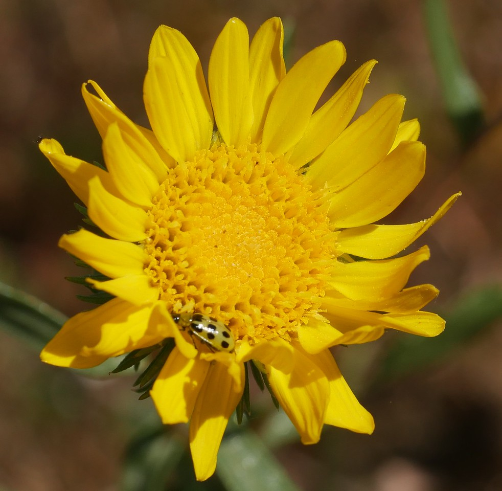 We saw Grindelia in several places but their peak bloom lay ahead.