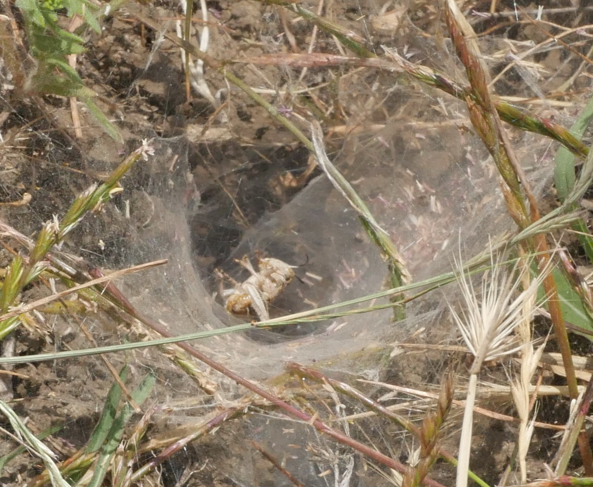 A grassy area to the side of the spring had a number of spider webs.  This web had snared a grasshopper.