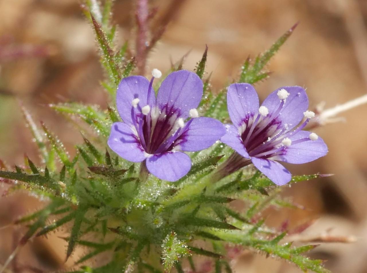 Purple Navarretia_Navarretia pubescens_P1060248
