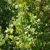 grape vine_P1060339