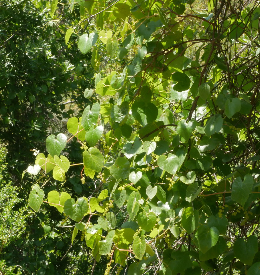 Grape vines are not common on John's property.