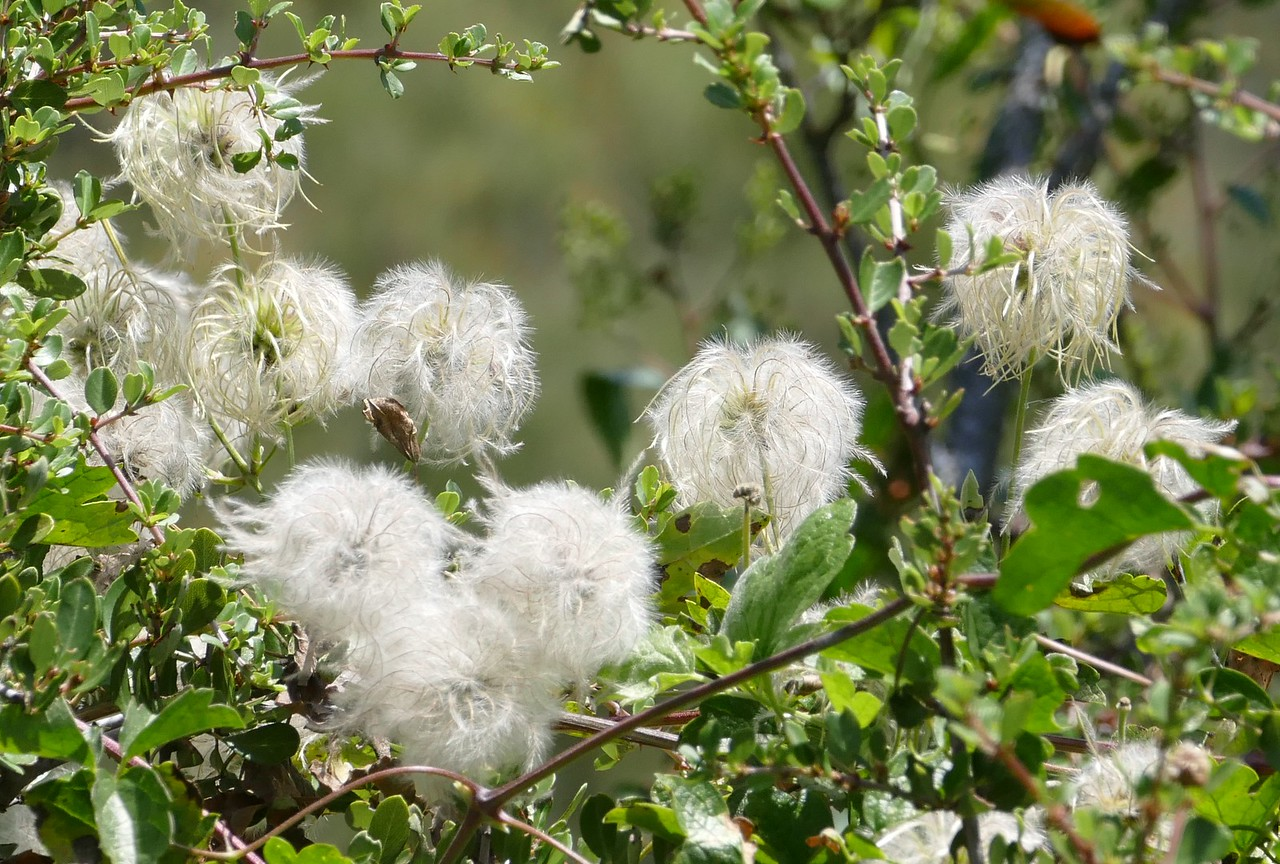 This clematis vine produced pretty flowers earlier and now these showy seeds.