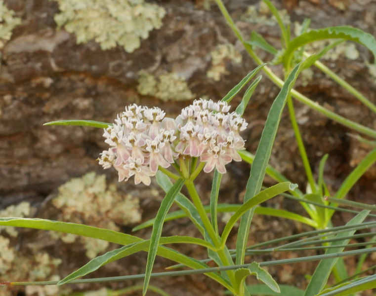 A milkweed in shade near the same spring.
