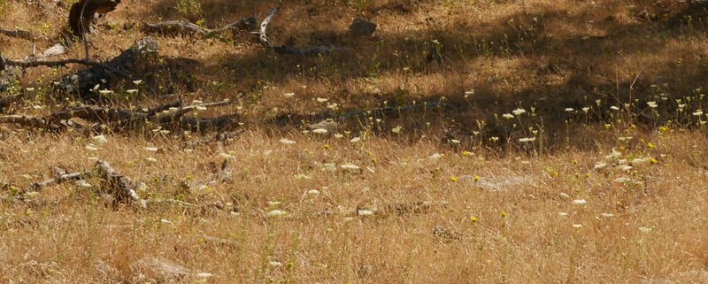 We spotted a meadow with Yampa (Perideridia kelloggii).  A surprise to me.