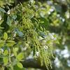 coast live oak_Quercus agrifolia_catkins_P1030693