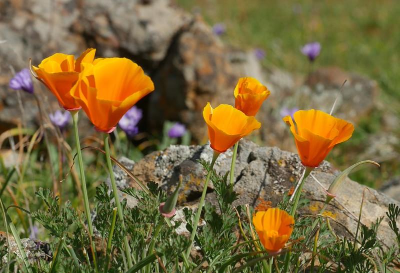 california poppy_Eschscholzia californica_P1030674