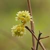 Rhus aromatica - skunk brush_P1030795