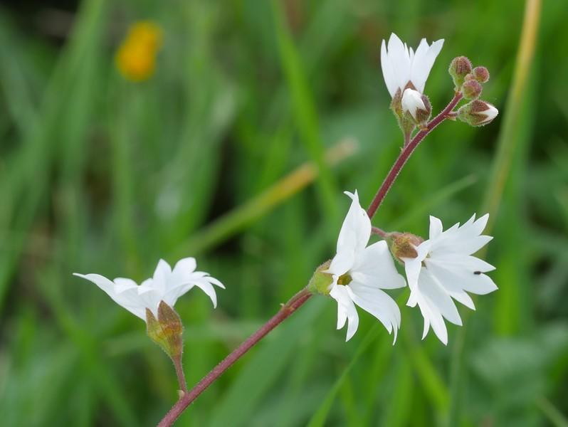 woodland star_Lithophragma affine_P1030686
