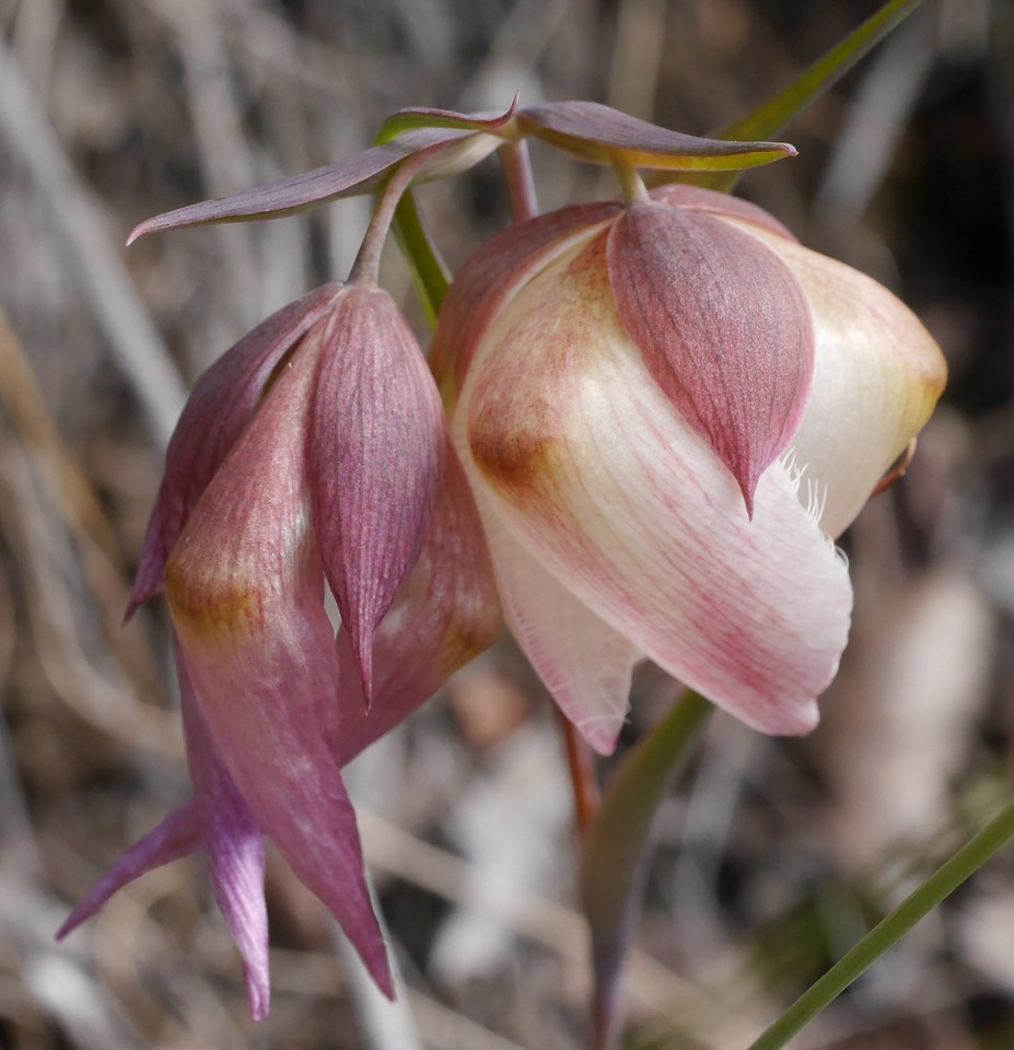 white globe lily_calochortus albus_P1050398