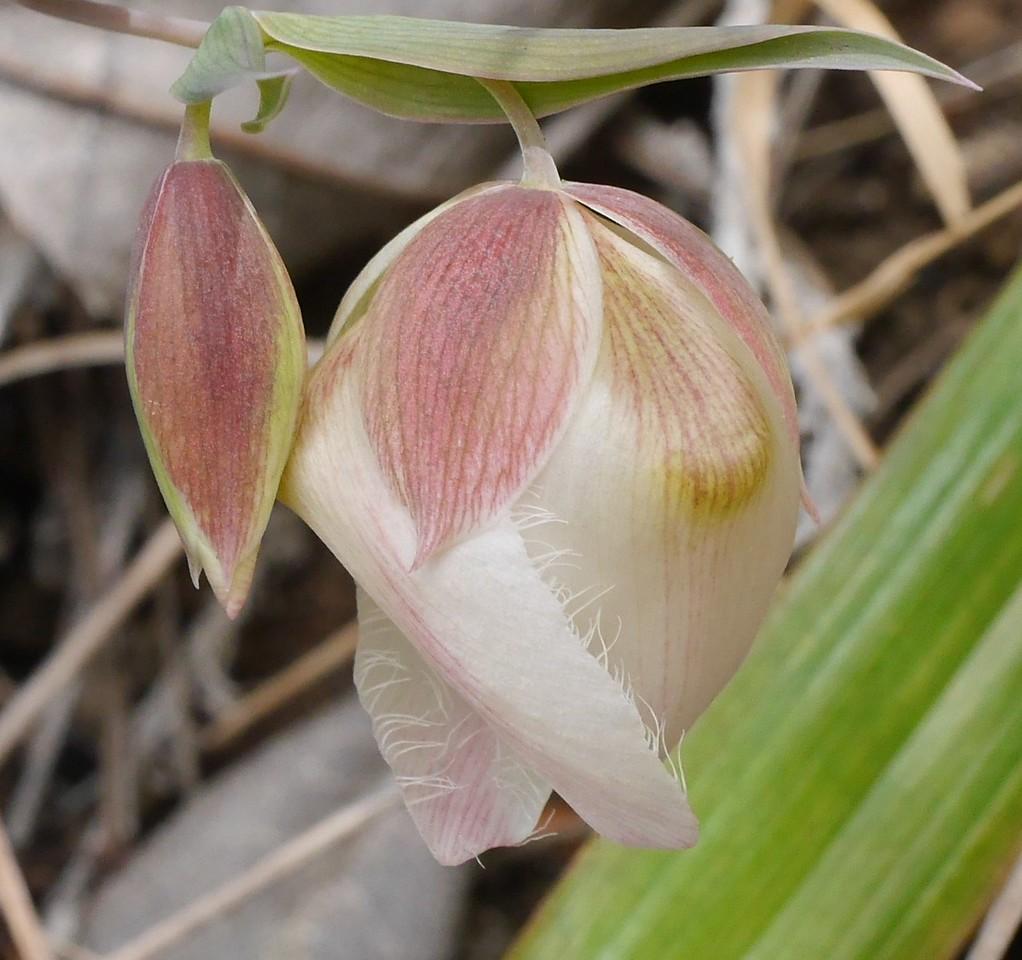 white globe lily_calochortus albus_P1050397