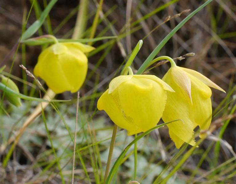 Mt Diablo Globe lily_P1050354