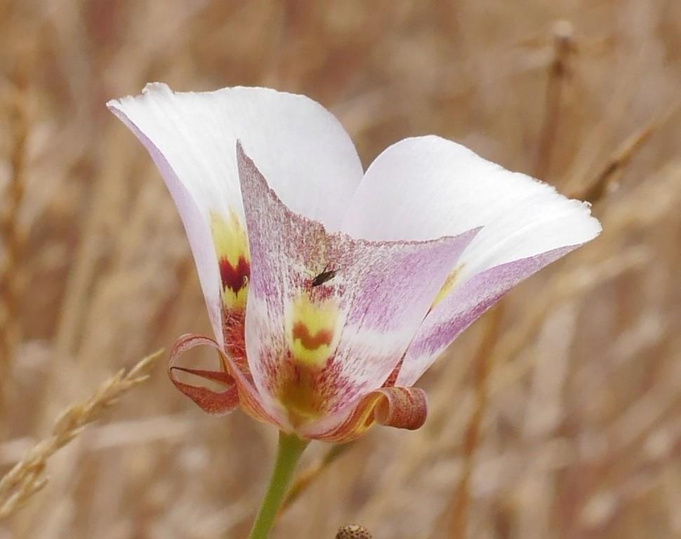 white mariposa lily_calochortus argillosus or venustus_P1050306
