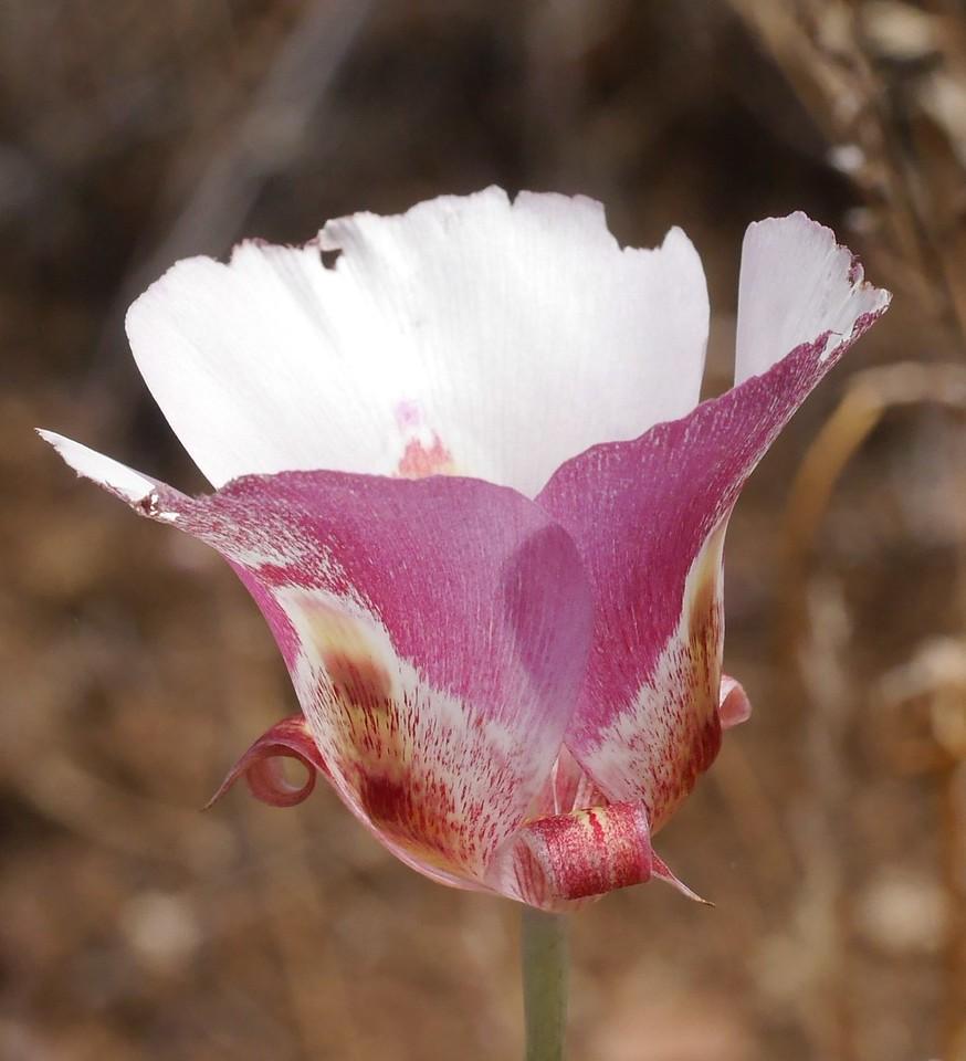 white mariposa lily_calochortus argillosus or venustus_P1050328