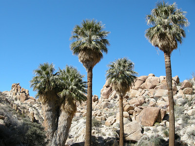 Nude and clothed California fan palms.