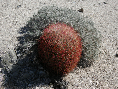 A different exposure on the same barrel cactus, which was partially surrounded by some sort of small shrub.