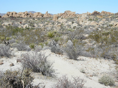 This trail, 3.6 miles from trailhead to Lost Palms Oasis, was actually quite scenic, with numerous ups and downs, various types of geology, and a variety of plants.