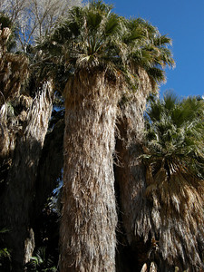 Palms at Cottonwood Spring oasis, immediately by the trailhead.