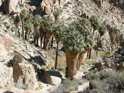 California fan palms, Washingtonia filifera.