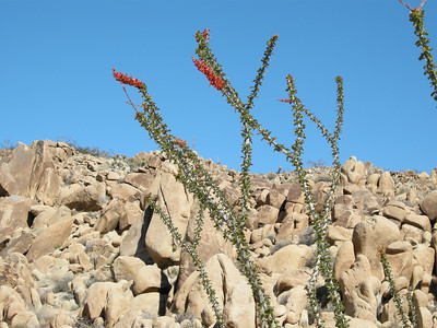 Ocotillo against a rocky backdrop.