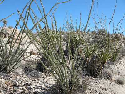 Leafy ocotillo and spiny yuccas.