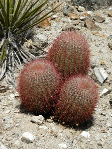 Closeup of Ferocactus cylindraceus, times three.