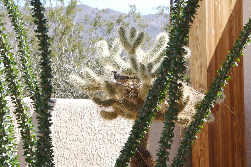 Cactus Wren in nest at visitor center