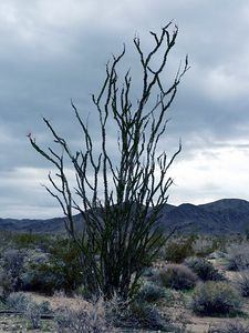 Ocotillo (note budding flowers on left branch, close-up next photo)