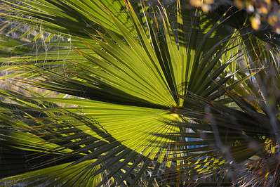 Palm detail, Cottonwood Spring