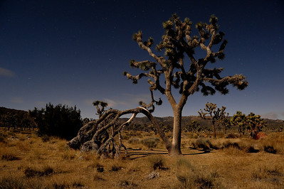 Joshua Trees in the Moonlight