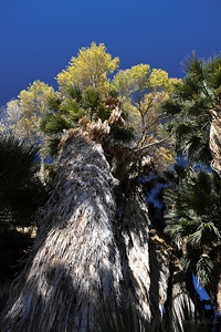 Palms, Cottonwood at Cottonwood Spring