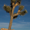 Joshua Tree and the moon