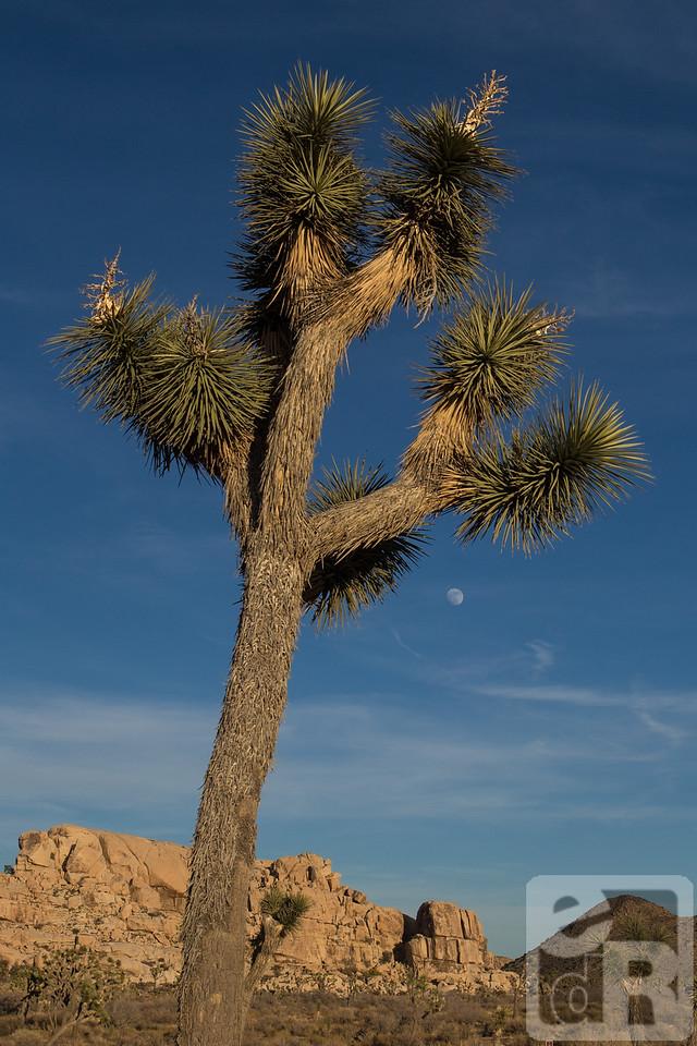 Joshua Tree and the moon