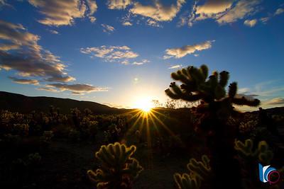 Sunset at the Cholla Cactus Garden