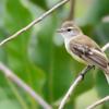 Phaeomyias murina<br /> Bagageiro<br /> Mouse-colored Tyrannulet<br /> Piojito pardo - Tachuri