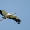 Ciconia maguari<br /> Maguari<br /> Maguari Stork<br /> Cigüeña - Mbaguari