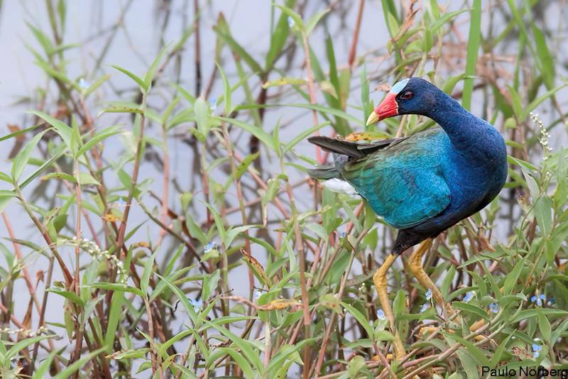 Porphyrio martinicus<br /> Frango-d'água-azul<br /> Purple Gallinule<br /> Polla azul - Ñahana hovy