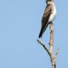 Progne chalybea<br /> Andorinha doméstica-grande<br /> Gray-breasted Martin<br /> Golondrina doméstica - Mbyju'i ogaregua