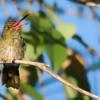 Hylocharis chrysura<br /> Beija-flor-dourado<br /> Gilded Hummingbird<br /> Picaflor bronceado - Kuarahy áva