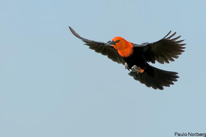 Amblyramphus holosericeus<br /> Cardeal-do-banhado<br /> Scarlet-headed Blackbird<br /> Federal - Guyraû pytâ