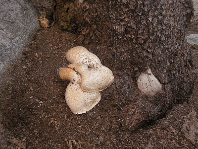 Mushrooms at the base of a pine tree, near our night's camp.
