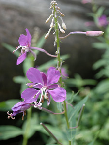 Fireweed, Epilobium augustifolium. Saw quite a lot of this; it's very pretty, tall, and showy.