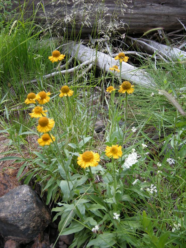 I think the yellow flowers are Bigelow Sneezeweed, Helenium bigelovii.