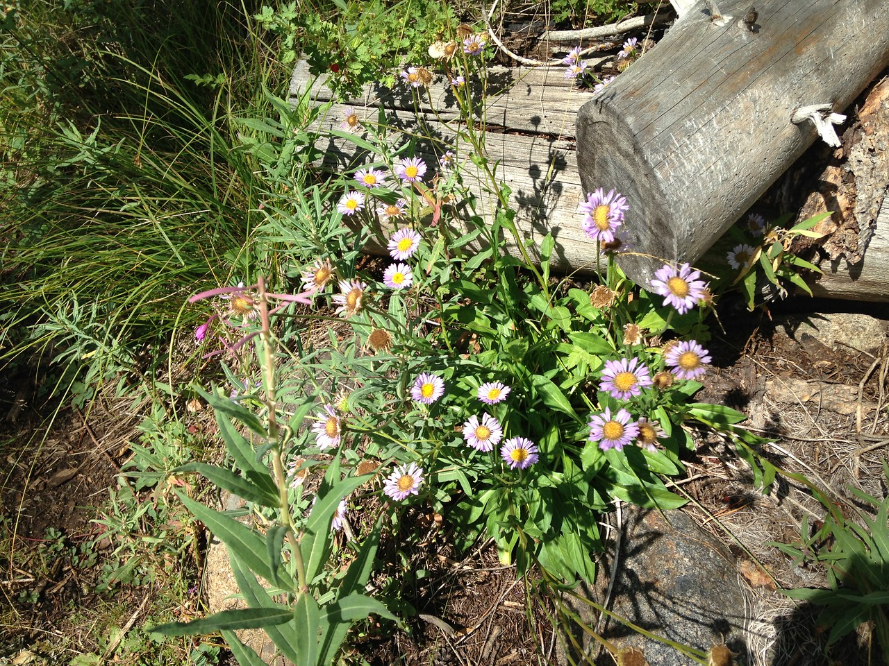 Many trailside flowers! I think these are Western Mountain Aster, plus a bit of Fireweed thrown in as a bonus.