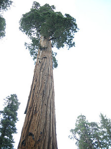 Looking up at a Sequoia in Redwood Mountain Grove; exposure is on the tree.