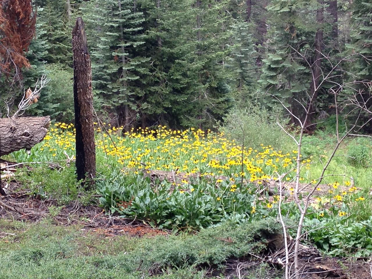 More profuse flowers along the trail, climbing towards Kanawyer Gap.