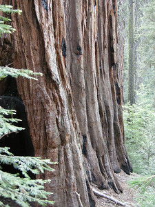 A bit difficult to see, but there are four Giant Sequoias lined up here.