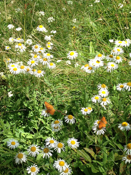Another Compositae of some sort (Fleabane?), with attendant butterflies.