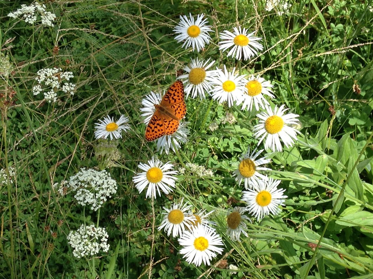 The butterfly is a Mountain Fritillary (Speyeria egleis.)